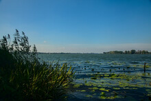Canes Bent By The Wind On A Lake With Lily Pads On The Water On A Clear Day In Autumn