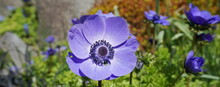 Anemone Coronaria Blue Poppy Flower Close Up On Colorful Background.