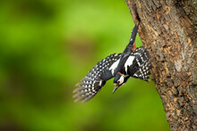 Great-spotted Woodpecker Flying Out Of Nesting Cavity