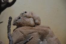 Common Gundi (Ctenodactylus Gu...
