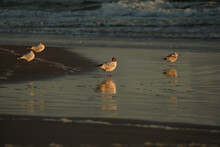 Group Of Seagulls Standing On Wet Sand Watching Sunset / Beach Summer Sunset / Seagull Looking At Camera