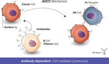 Antibody Dependent Cell Mediated Cytotoxicity: B Cell Releases Antibodies Which Antigens Of Cancer Cells, These Antibodies Recognized By Fc Receptor Of NK Cells And Leads To Cancer Cell Death Vector
