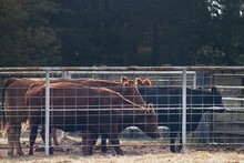 Cattle In A Corral On A Dewy M...