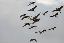 The Flock Of Sandhill Crane In...