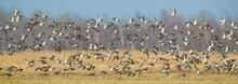 Flock Of Migrating Ruffs In Bi...