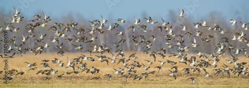 Fotomural Flock of migrating ruffs in Biebrza National park in Poland