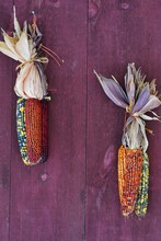 Decorative Indian Corn With Colorful Kernels On A Red Barn Wall In The Fall
