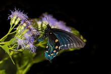 Pipevine Swallowtail (Battus P...