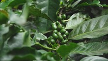 Coffee Beans On Lush Green Branch Of Plant In The Jungles Of The Galapagos Islands