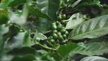 Coffee Beans On Lush Green Bra...