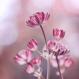 Fototapeta Kwiaty - Różowe kwiaty - Astrantia