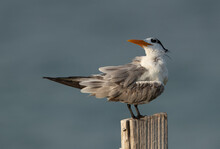 Greater Crested Tern Perched O...