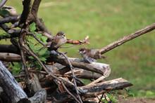 Zwei Sperlinge Auf Einem Ast