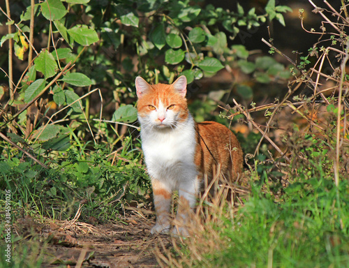 Fotografía hunting yellow-eyed cat emerges from bushes thickets