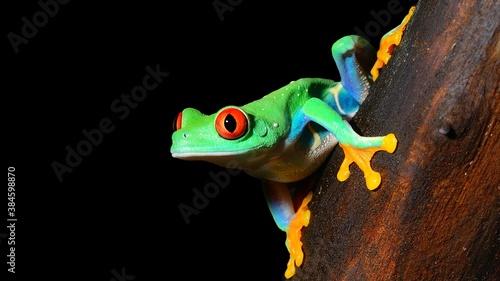 Tablou Canvas red-eye tree frog  Agalychnis callidryas