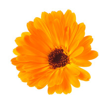 Orange Calendula Flower Isolat...