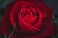 Beautiful Red Rose Detail