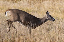 White-tailed Doe On The Run. C...