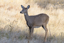 White-tailed Doe In Tall Grass...