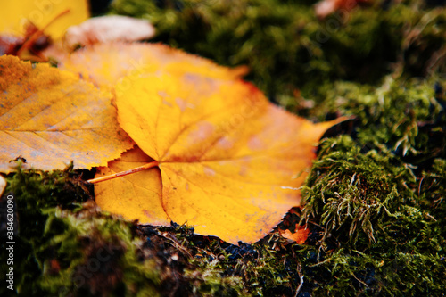 Fotografie, Obraz fallen leaves near beautiful tree in autumn forest at sunny weather