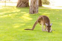 Beautiful Kangaroo Standing On Eating Grass Perth, Western Australia, Australia