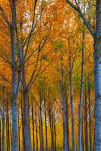 Autumn Colors, Poplars