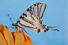 Scarce Swallowtail (Iphiclides Podalirius) On A Orange Flower