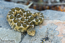 Nose-horned Viper - Vipera Ammodytes Also Horned Or Long-nosed Viper, Nose-horned Viper Or Sand Viper, Species Found In Southern Europe, Balkans And Middle East