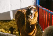 Chestnut Alpaca On A Farm, Che...