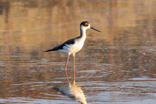 A Black Necked Stilt Wading In The Water