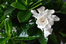 Close Up Of White Gardenia Flo...