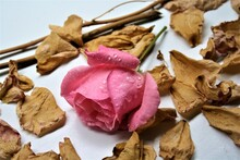 Pink Rose With Dried Pedals An...