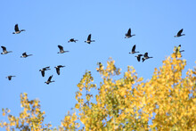 Flock Of Canada Geese Migrating From North To South