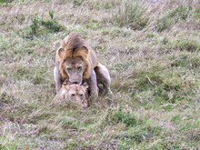 Wide Shot Of Two Lions Mating ...