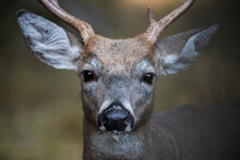 Drooling Whitetail Buck Deer C...