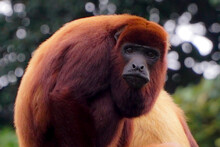 Beautiful And Exotic Red Howler Monkey