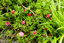 Baby Sun Rose Or Heartleaf Iceplant (Aptenia Cordifolia)