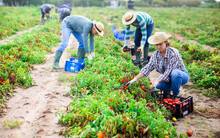 Skilled Female Farmer With Team Of Farm Workers Gathering Crop Of Organic Tomatoes On Vegetable Plantation. Autumn Harvest Time