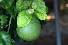 Orange And Pomelo Fruits Hang On Trees In A Citrus Garden In Israel Against A Background Of Green Foliage On The Trees