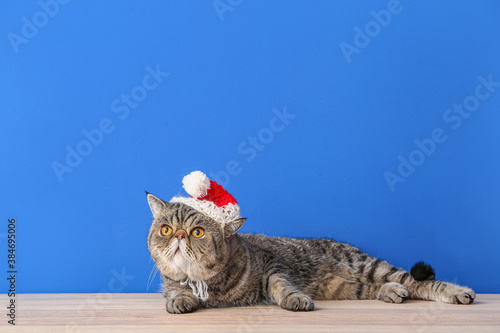Cute exotic shorthair cat in Santa hat near color wall - 384695006