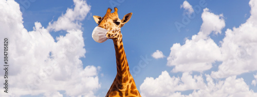 Obraz animal, nature and wildlife concept - giraffe wearing face protective medical mask for protection from virus disease ove blue sky on background - fototapety do salonu