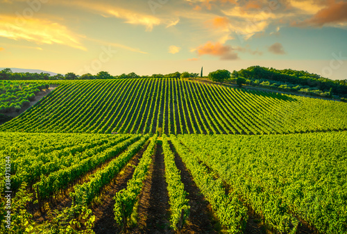 Naklejka premium Vineyard at sunset. Castellina in Chianti, Tuscany, Italy