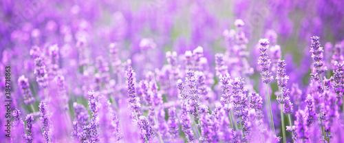 Foto Beautiful image of lavender field over summer sunset landscape.