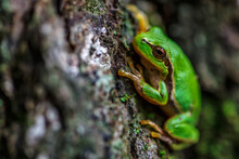 American Green Tree Frog.Littl...