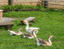 Four Ducks On The Green Grass In Suzdal, Russia