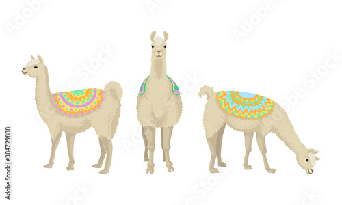 Naklejka premium White Wooly Llama or Alpaca as Domesticated South American Camelid Vector Set