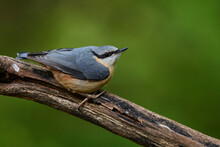 Eurasian Nuthatch In Natural E...