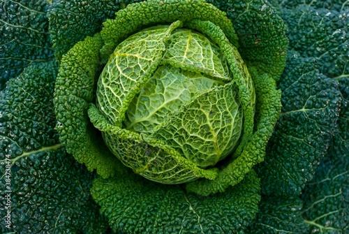 Fotografia head of cabbage