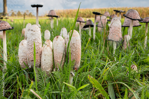 Photo Shaggy cap on a lawn in the province of Overijssel, the Netherlands