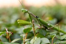 Green Praying Mantis (mantis ...